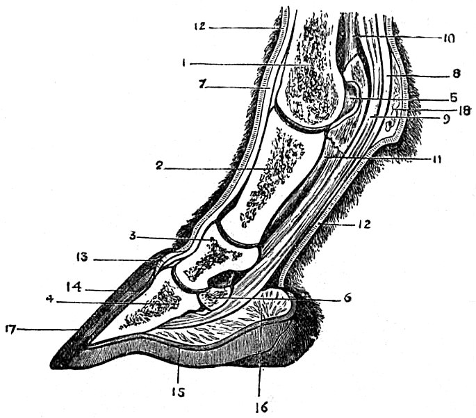 EB1911 Horse section of foot