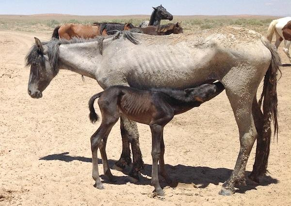 drought horse small